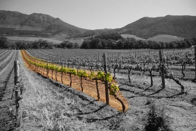 Pinotage Vertical
